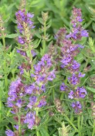 Hyssopus officinalis 'Dwarf Blue'
