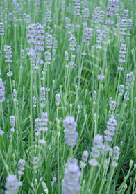 Lavandula angustifolia 'Bowles'