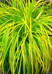 Carex oshimenis 'Everillo'