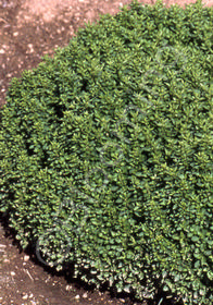 Origanum vulgare 'Nana'