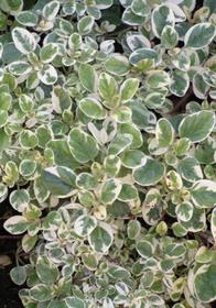 Origanum vulgare 'Variegata'