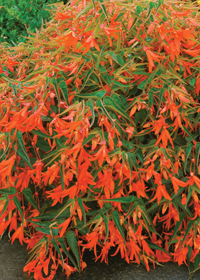Begonia Bonfire Orange