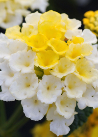 Lantana 'Lucky Lemon Glow'