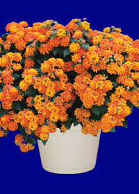Lantana 'Carolina Bright Orange'