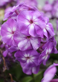 Phlox  paniculata 'Top Shelf Purple Kiss'