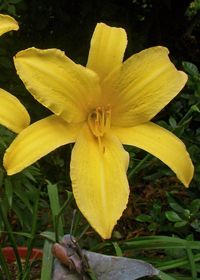 Hemerocallis 'Yellow Pinwheel'