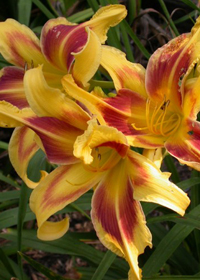 Hemerocallis 'Lady Neva'