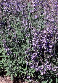 Salvia officinalis 'Minor'