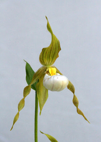 Cypripedium x columbianum