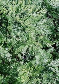Artemisia labrotanum limoneum