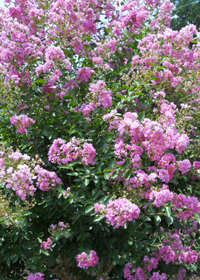 Lagerstroemia indica 'Dwarf Pink'