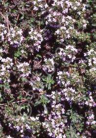 Thymus herba-barona (Caraway) 'Caraway'