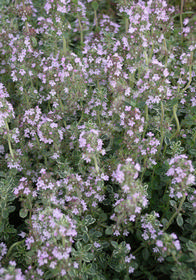 Thymus citriodorus 'Argentea' (Lemon-Silver Variegated)