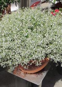 Euphorbia Stardust White Sparkle