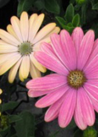 Osteospermum Serenity 'Sunset Magic'