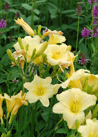 Hemerocallis 'Dustin'