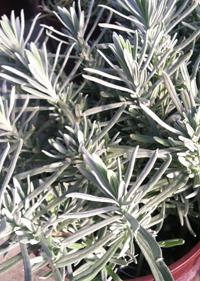 Lavandula angustifolia 'Gancetto'