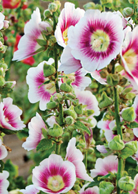 Alcea rosea Halo 'Blush'