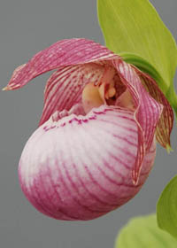 Cypripedium 'Sabine'