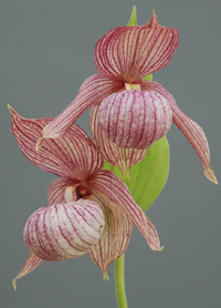 Cypripedium 'Michael'