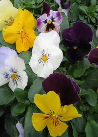 Pansy 'Cool Wave Mix'