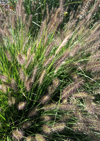 Pennisetum alopecuroides 'Ginger Love'
