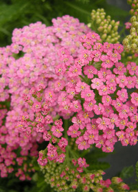 Achillea Song Siren Little Susie