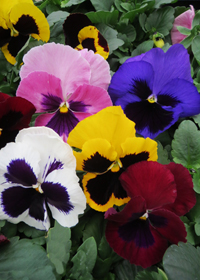 Pansy 'Matrix Mix Blotch'
