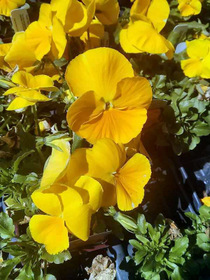 Pansy Delta Premium Yellow Pure