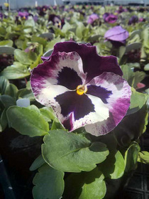 Pansy Matrix Mix Ruby