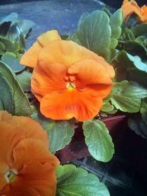 Pansy Spring Matrix Orange
