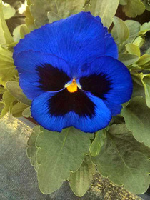 Pansy Spring Matrix® Blue Blotch