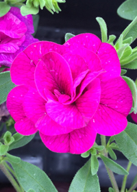 Calibrachoa 'MiniFamous Double Purple'