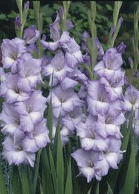 Gladiolus 'Blues'