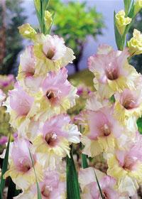 Gladiolus 'Mon Amour'