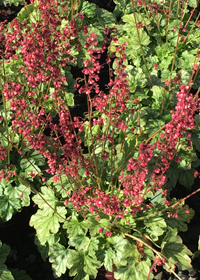 Heuchera Berry Timeless*