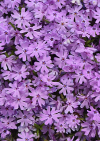 Phlox Running with Scissors*