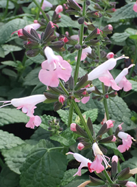 Salvia coccinea 'Summer Jewel Pink'