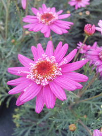 Argyranthemum Perfect Pink