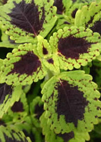 Coleus 'Tell Tale Heart'