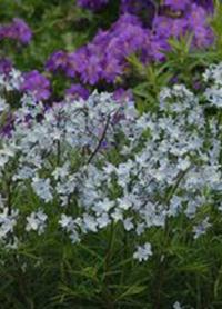 Amsonia ciliata 'Spring Sky'