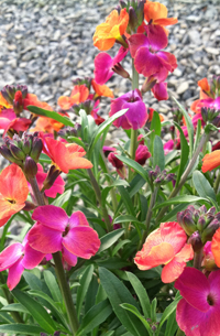 Erysimum 'Winter Sorbet Improved'