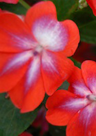 Impatiens Patchwork Cosmic Orange