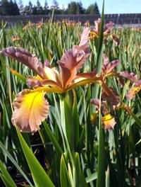 Iris x spuria 'Rose Ark'
