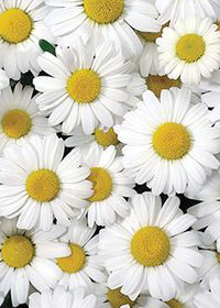 Leucanthemum x superbum 'Darling Daisy'