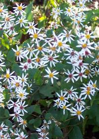 Aster divaricatus 'Eastern Star'