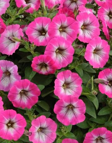 Petunia Cascadia Marshmallow pInk