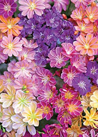 Lewisia 'Rainbow Mix'