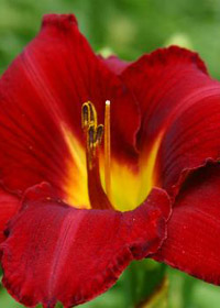 Hemerocallis 'Prairie Wildfire'
