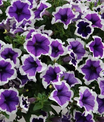 Petunia Cascadia Violet Skirt